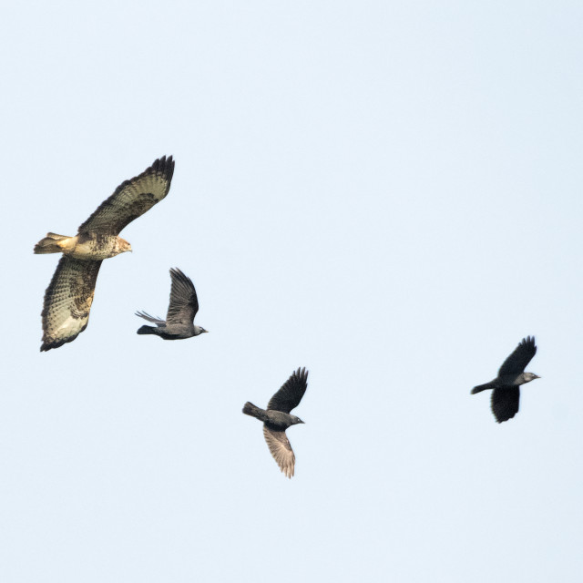 """""""Buzzard flying from a Jackdaw Mob"""" stock image"""