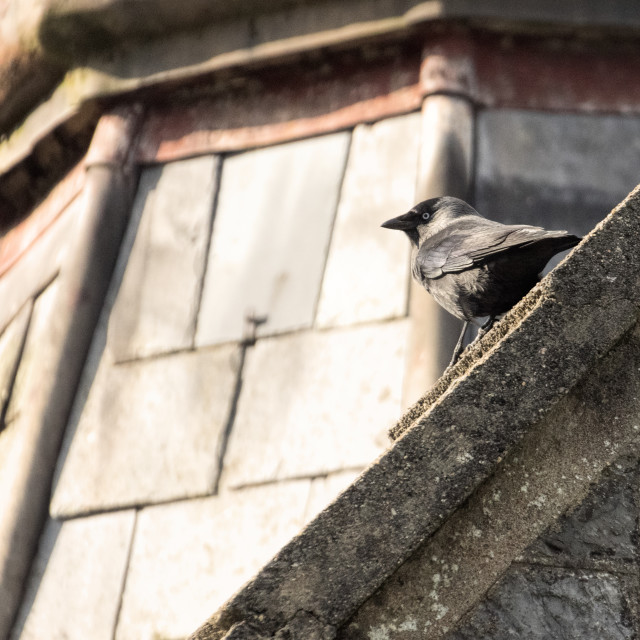 """""""Jackdaw on a chapel roof"""" stock image"""