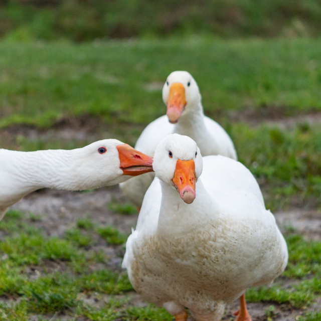 """""""Domestic goose appears to be whispering in the ear to a similar"""" stock image"""