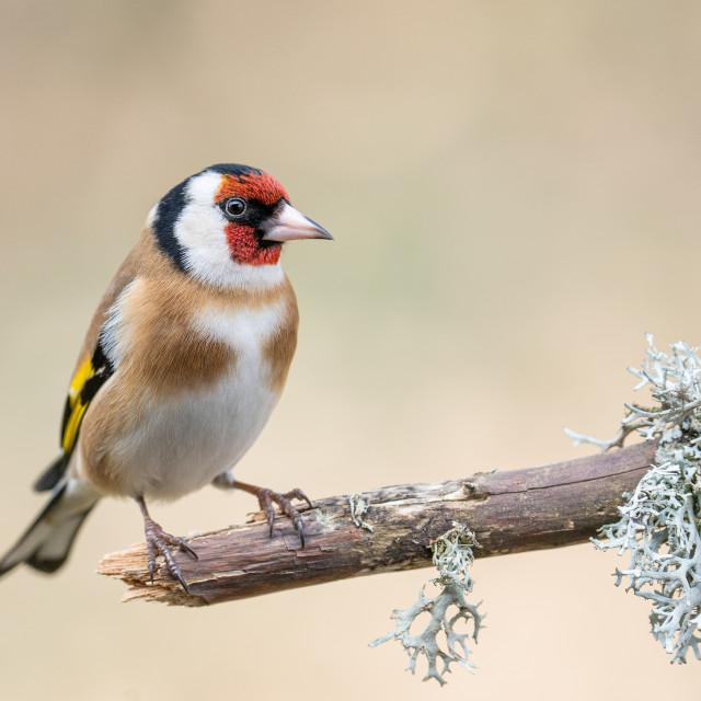 """European goldfinch"" stock image"