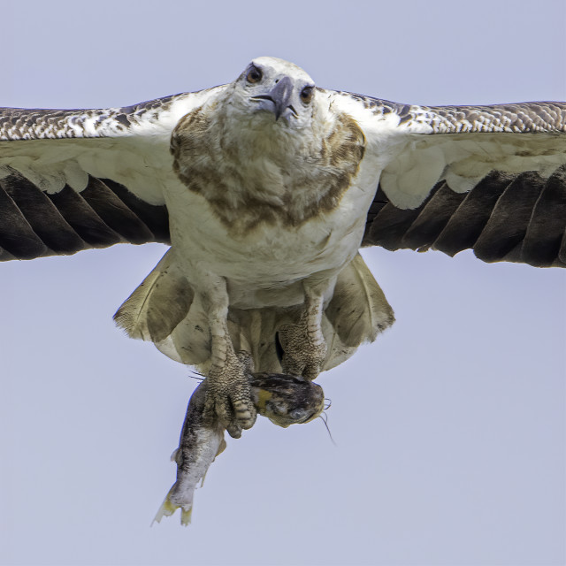 """""""Juvenile white bellied sea eagle with a fish in talons"""" stock image"""