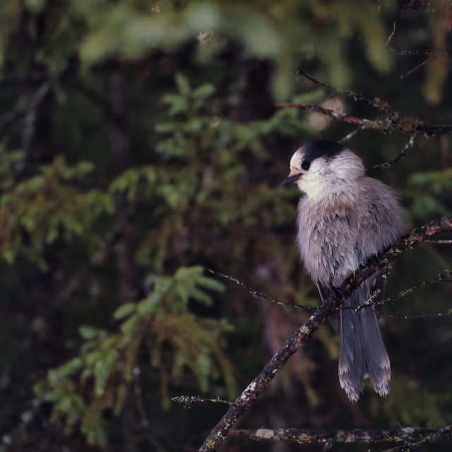 """""""Canada jay perched on branch in the forest"""" stock image"""