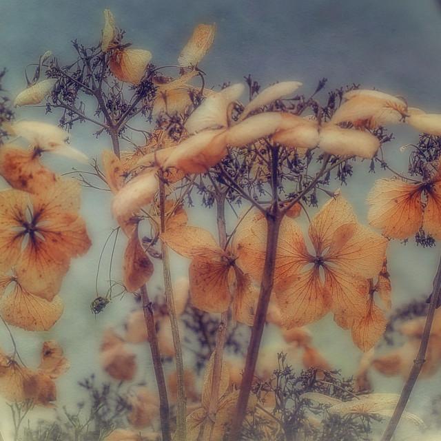 """Hydrangea Flower Heads"" stock image"