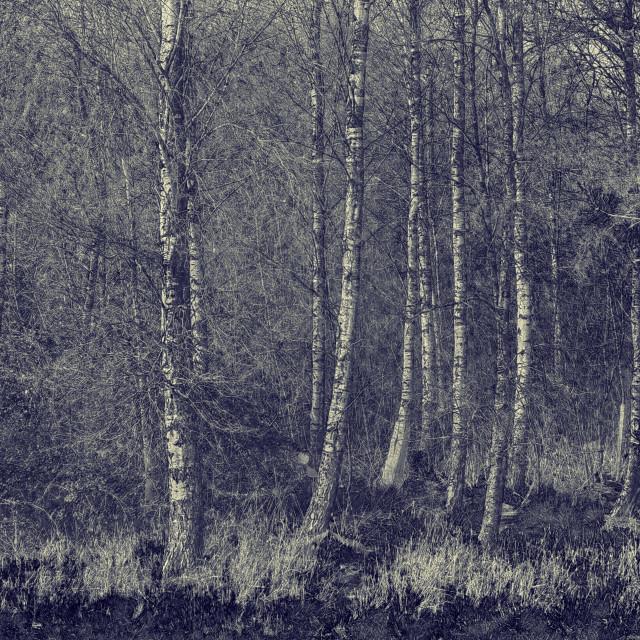 """Silver Birch Trees - Black & White"" stock image"