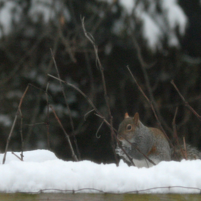 """""""squirrel in the snow"""" stock image"""