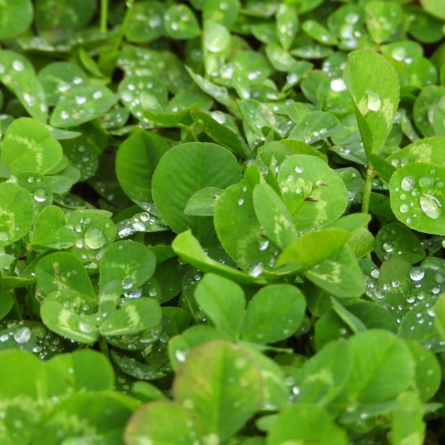 """Raindrops on Clover"" stock image"