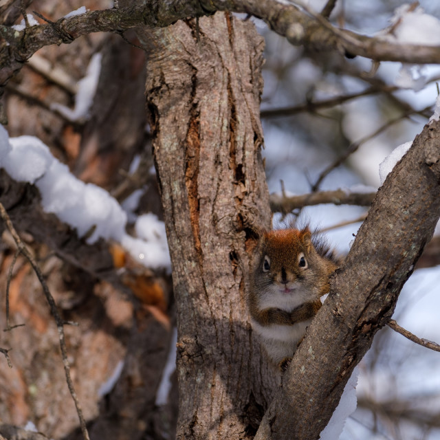 """""""Red squirrel above crook of branches in winter"""" stock image"""