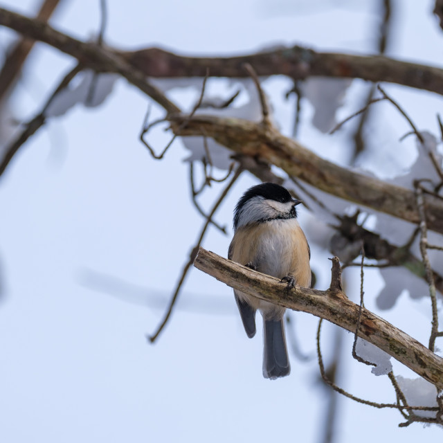 """""""Chickadee perched on bare, snowy tree."""" stock image"""