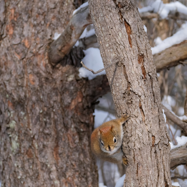 """""""Red squirrel clinging to tree trunk"""" stock image"""