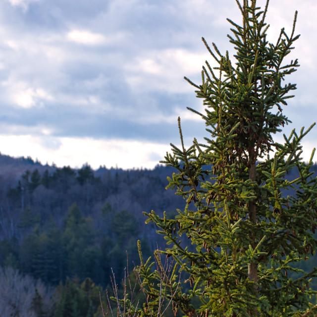 """Tall evergreen tree"" stock image"