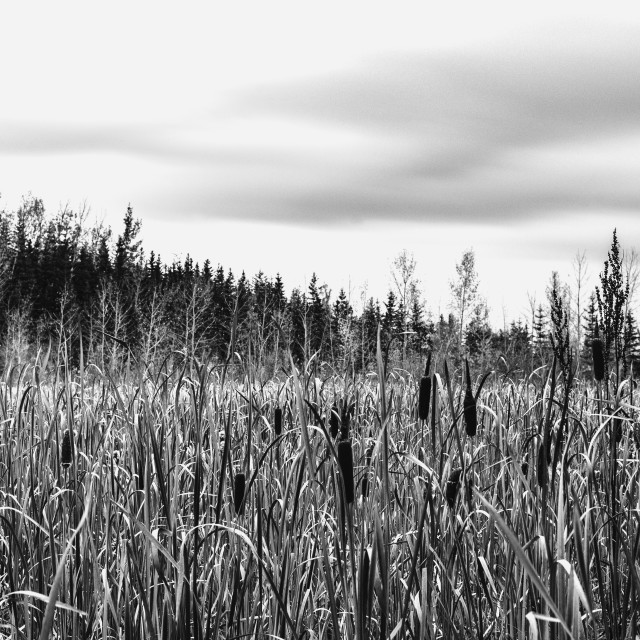 """Cattails"" stock image"