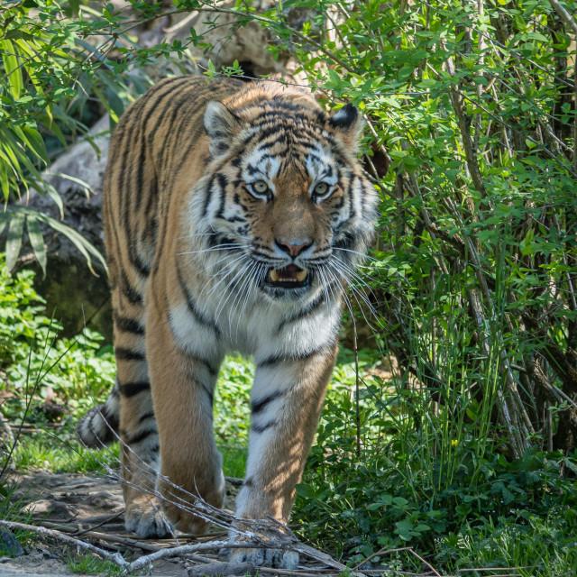 """""""A large Siberian tiger walks towards me"""" stock image"""