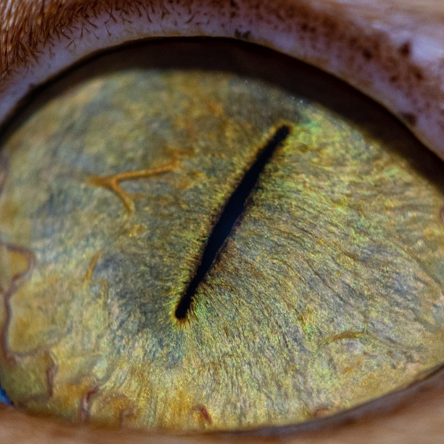 """""""Close up of pupil and iris of a cat's eye"""" stock image"""