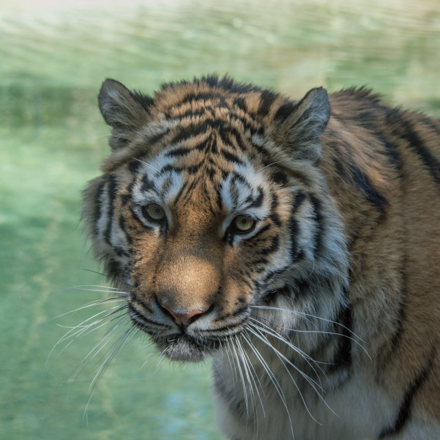 """""""Detail of the muzzle of a large Siberian tiger"""" stock image"""