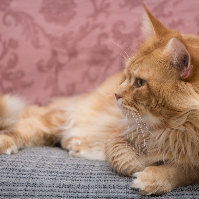 """""""Maine Coon on the armchair"""" stock image"""