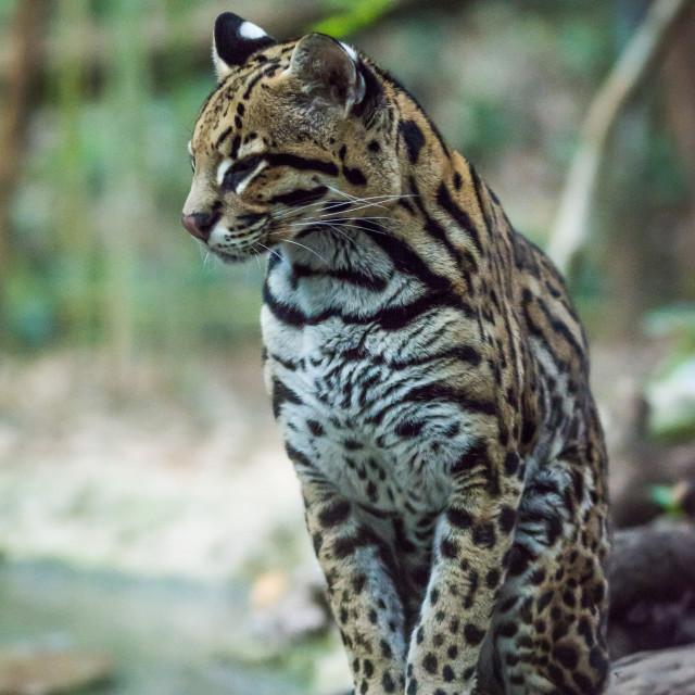 """Portrait of Ocelot leopard sitting on log in a majestic way"" stock image"