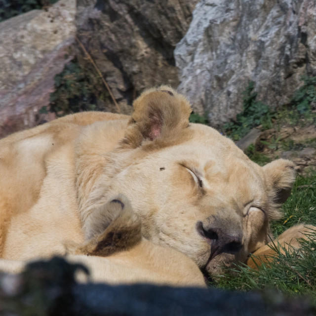 """""""Lioness sleeps on a meadow"""" stock image"""