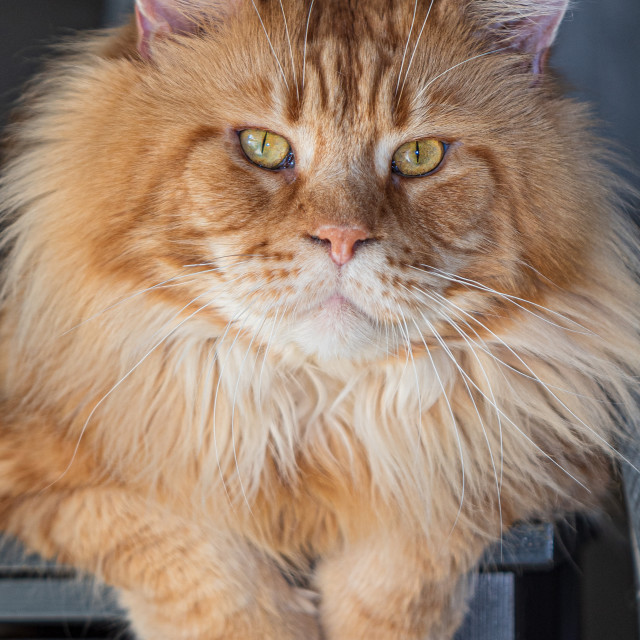 """""""Purebred red Maine Coon cat at home"""" stock image"""