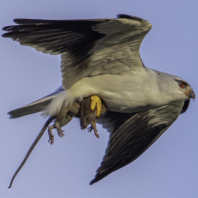 """Black winged kite caught a rat"" stock image"