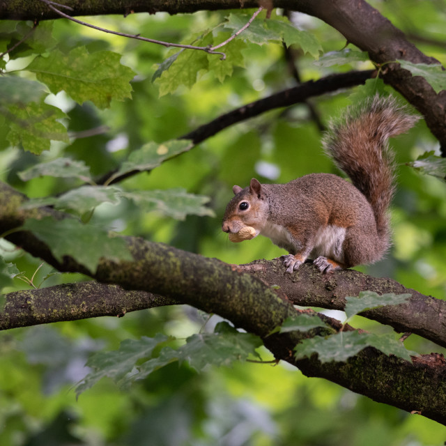 """""""Gray squirrel eats a peanut perched on a tree branch"""" stock image"""