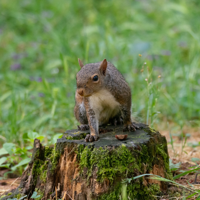 """""""Gray squirrel posing over a trunk in the woods"""" stock image"""