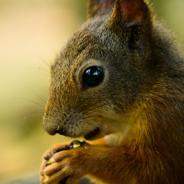 """""""Red squirrel with a drop of water on the paw"""" stock image"""
