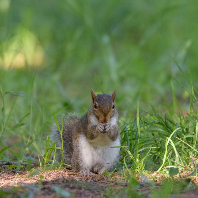 """""""Portrait of Squirrel eating a peanut in a green meadow"""" stock image"""