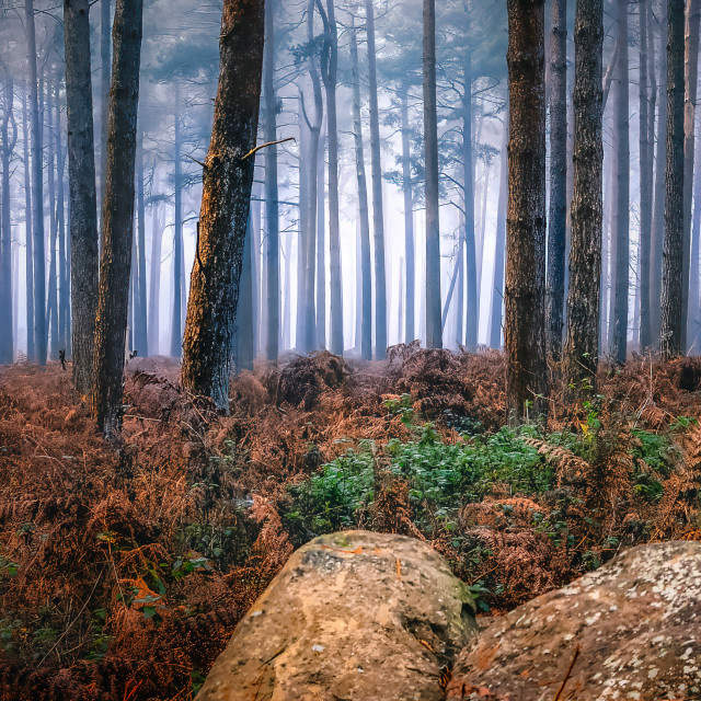 """""""A foggy Thetford Forest, UK"""" stock image"""