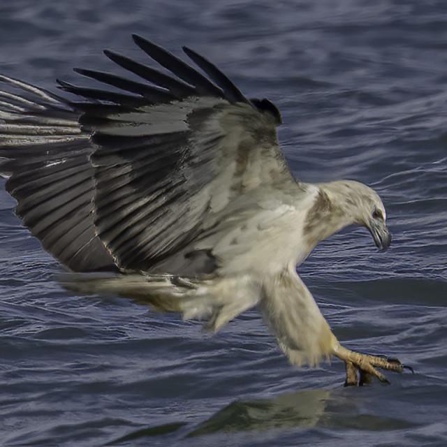 """Juvi white bellied sea eagle morning dive"" stock image"