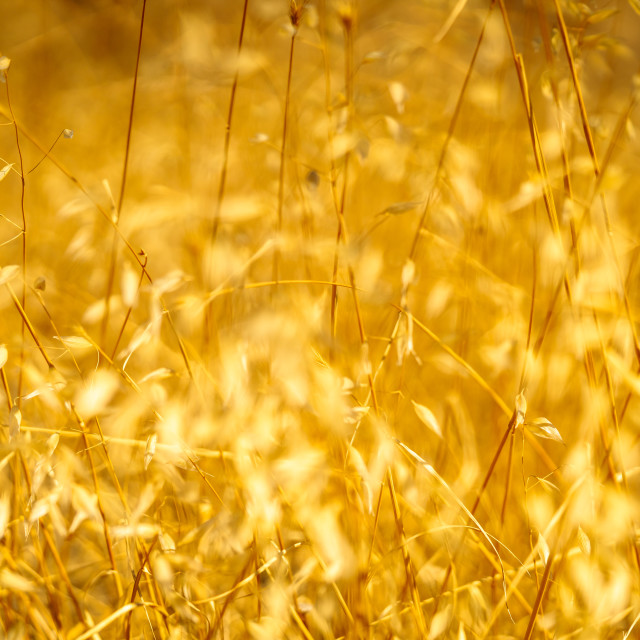 """""""Illuminated golden Lesvos sunlight 1"""" stock image"""