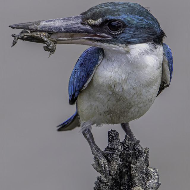 """""""Collared kingfisher with crab in mouth"""" stock image"""