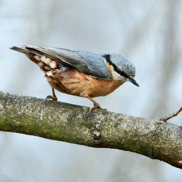 """Eurasian nuthatch or wood nuthatch on the branch (Sitta europaea)"" stock image"