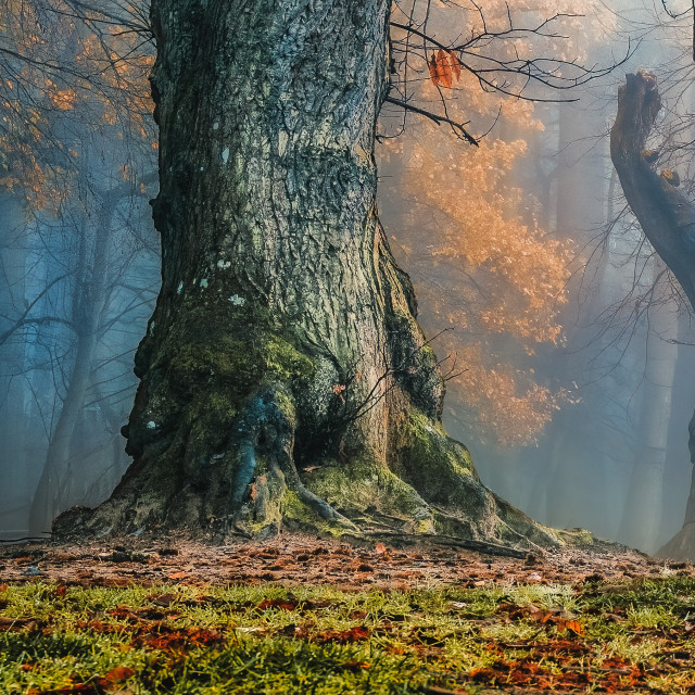 """""""A foggy morning from Thetford Forest."""" stock image"""