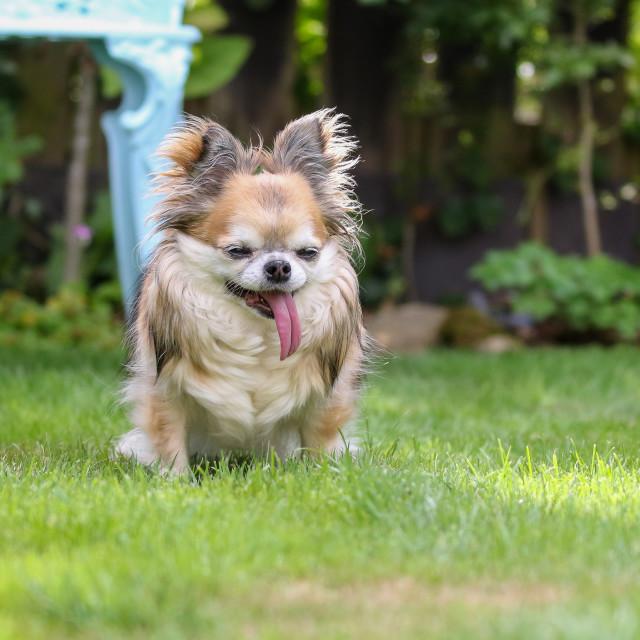 """""""Tia the Chihuahua"""" stock image"""