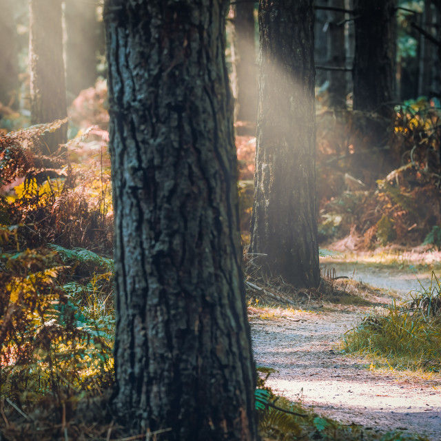 """""""Sunlit trail from Thetford Forest."""" stock image"""