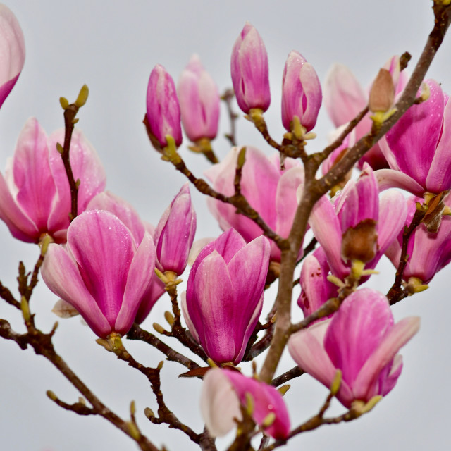 """""""Springtime Japanese Magnolia"""" stock image"""