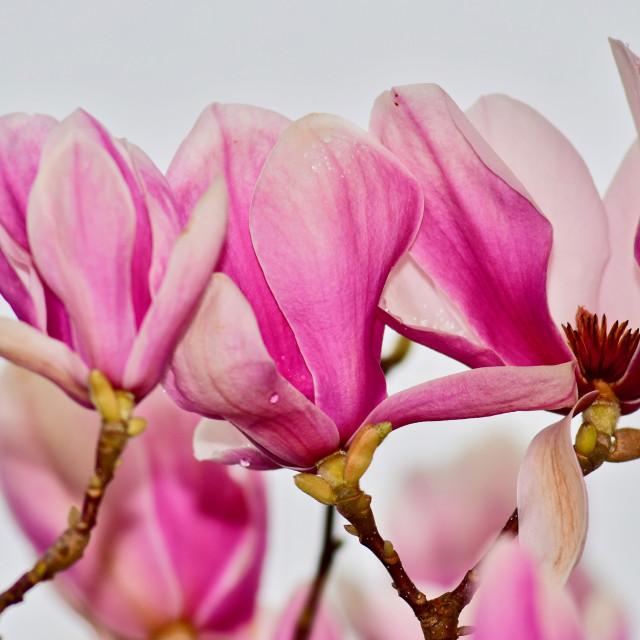 """Sprigtime Japanese Magnolia"" stock image"