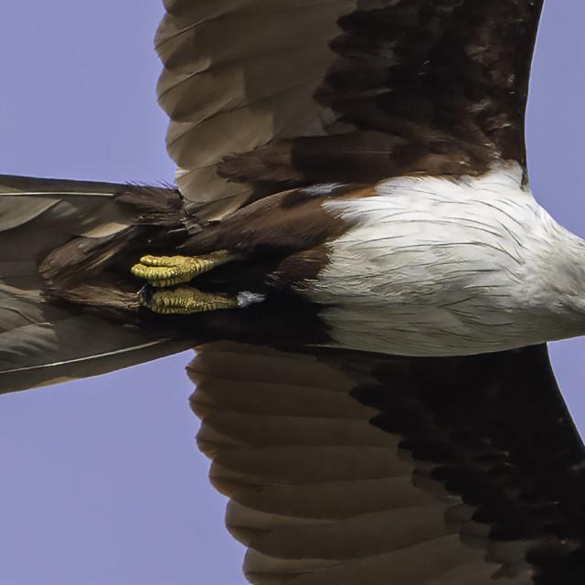 """Brahminy kite in flight"" stock image"