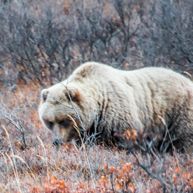 """Brown Bear- Denali National Park"" stock image"
