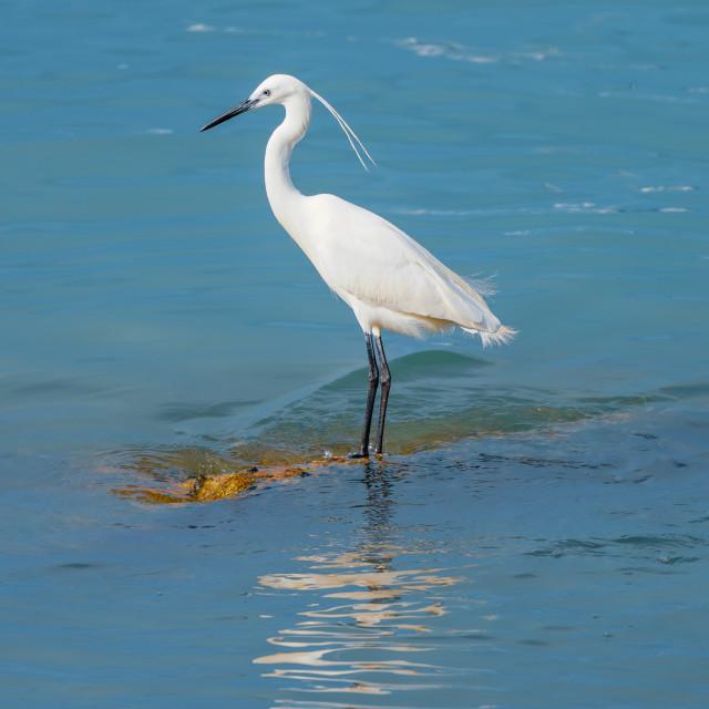 """Little Egret on a Shoal"" stock image"