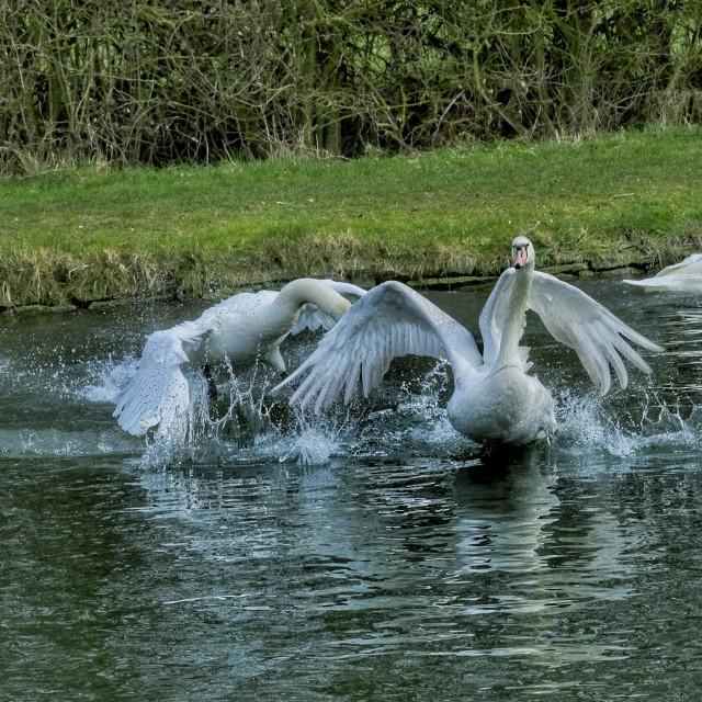 """Swans fighting"" stock image"