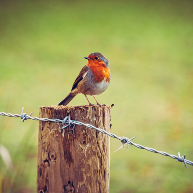 """Robin Redbreast"" stock image"