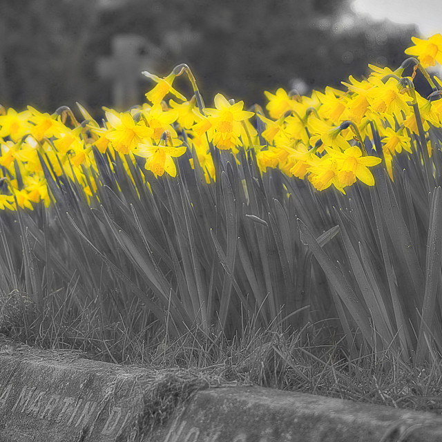 """""""Grave Daffodils"""" stock image"""