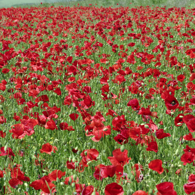 """Poppy fields in Normandy country"" stock image"