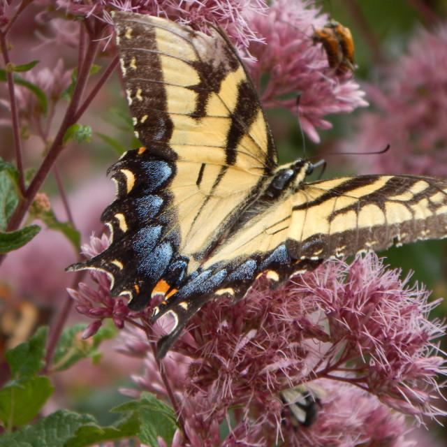 """Swallowtail on Purple Flowers"" stock image"