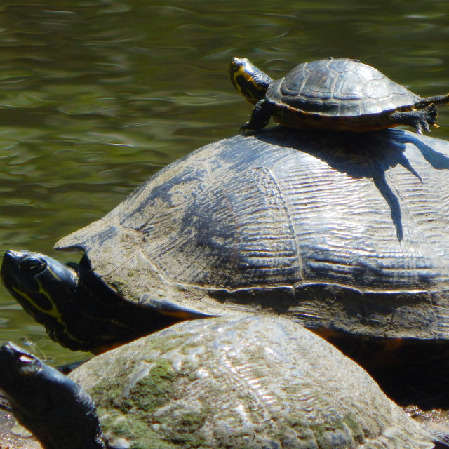 """""""Yellow-Bellied Slider Family"""" stock image"""