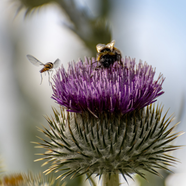 """""""A meeting on a thistle"""" stock image"""