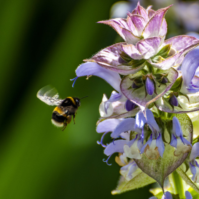 """""""Bumblebee and flower"""" stock image"""