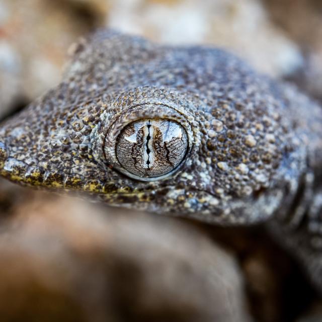 """""""Gecko Eye"""" stock image"""