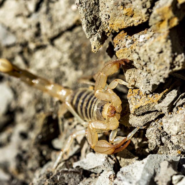 """Scorpion Close Up"" stock image"
